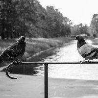 Любовь и голуби :: Татьяна Бронзова