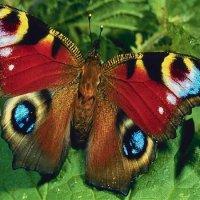 Бабочка. :: Виктор Неклюдов