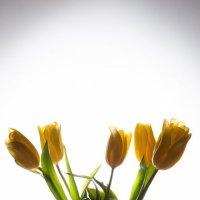 Тюльпаны :: Валерий Левичев