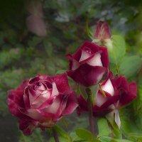 Люблю не срезанные розы :: leoligra