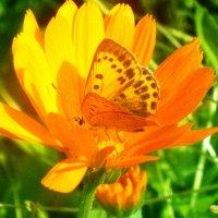 Бабочка :: Наталья Зимирева