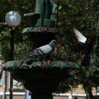 голуби и фонтан :: Иван Рудников