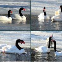 Черношейные лебеди... :: Нина Бутко