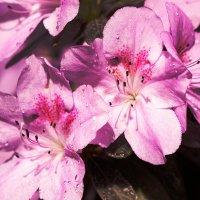 Цветки азалии :: Оксана Лада