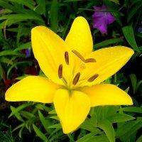 Жёлтая лилия-солнце. :: Лия ☼