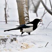 сорока-воровка) :: linnud