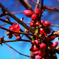 Японская айва расцветает... :: Светлана