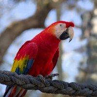 Попугай ярко-красный :: Александр Деревяшкин