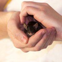 Ручной и общительный мышиный мальчик :: Светлана Чуркина