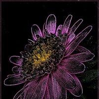 Звёздный цветок -  космическая астра :: Нина Корешкова
