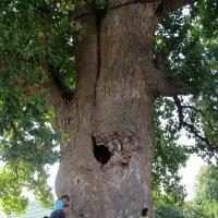 Тюльпановое дерево :: Вера Щукина