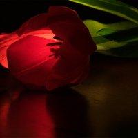 Цветок тюльпана :: Оксана Лада