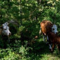 коровы в поисках горных лугов :: Константин Шабалин