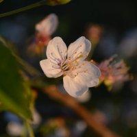 цветок вишни :: Светлана
