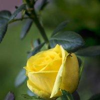 Роза жёлтая :: Владимир Кроливец