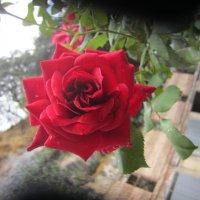 Роза :: irine kolesova