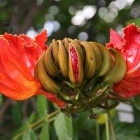 Так распускается цветок спатодеи :: Антонина