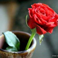 цветочные истории или алая роза :: Олег Лукьянов