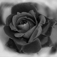 Черная роза - эмблема печали. :: Чария Зоя