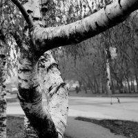 Городская  береза............ :: Валерия  Полещикова