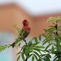 Птица-чечевица :: Елена Шел