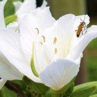 Цветок орхидейного дерева(лат.Баухиния) :: Антонина