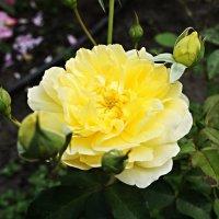 Желтая роза :: Елена Павлова (Смолова)