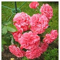 Розы...розы... и опять розы :: Елена Павлова (Смолова)