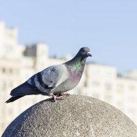 из жизни голубей #1 :: Сергей Полянский