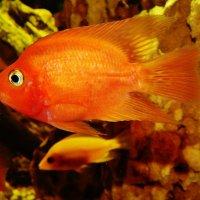 Золотая рыбка попугай :: Валентина Пирогова
