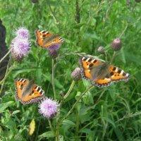 бабочки :: Наталья Зимирева