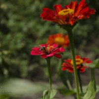 Пчела :: Nata Grebennikova