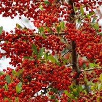 Красные ягоды :: Андрей Майоров