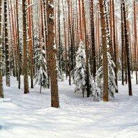 Сосновый бор в январе :: Милешкин Владимир Алексеевич
