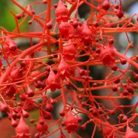 Брахихитон кленолистный (Brachychiton acerifolium) :: Антонина