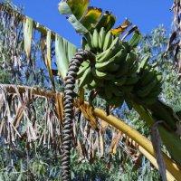 Так цветет банановое дерево :: Антонина