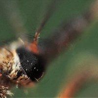 Правый глаз комара :: Николай Сапегин