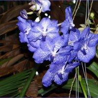 Орхидея Ванда :: Вера