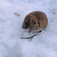 мышка :: Svetlana Plasentsiia