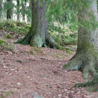 Ноги лесных великанов :: Жанна Рафикова