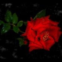 Ты подарил мне розу красную.......... :: Людмила Богданова (Скачко)