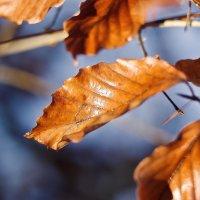 листья ольхи :: юрий иванов