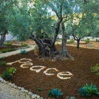 Иерусалим. Гефсиманский сад. Древние оливы. :: Игорь Герман