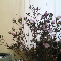 И в офисе багульник цветет... :: Николай Дони