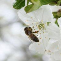 Пчела на цветах вишни :: Ольга Сельницына