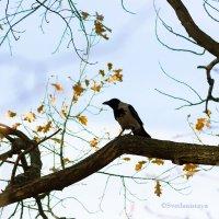 Ворона наблюдает :: Светлана Чуркина