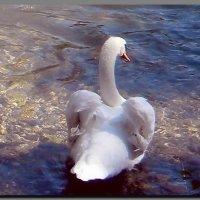 Лебедь. :: Ivana