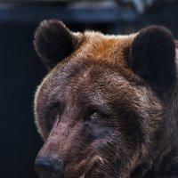 Бурый медведь :: Владимир Габов
