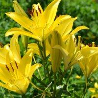 Желтые лилии :: Алёнка М.