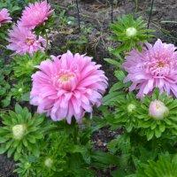 Розовая осень. :: zoja